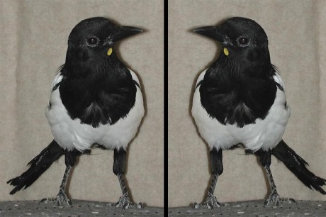 magpierefl